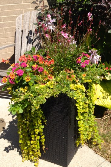 A bright container planting including Creeping jenny